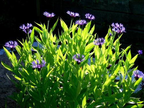 corn-flower.jpg